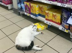 Comical Pictures Show Hungry Cat Perched Next To Boxes Of Treats After Sneaking Into A Supermarket