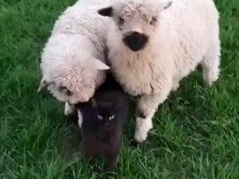 Rescue Cat Becomes Best Friends With A Pair Of Sheep