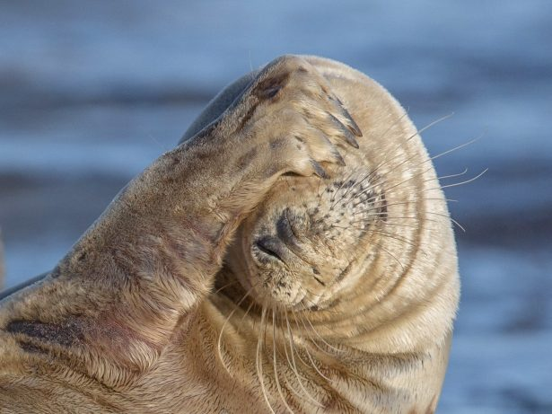 Seal Slaps Her Flipper Across Her Face To Block The Morning Sunlight After Being Woken Up