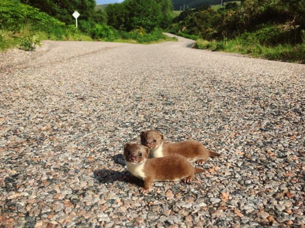 Adorable Pair Of Baby Weasels Pose In The Middle Of A Road In The Scottish Highlands