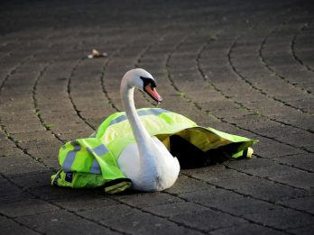 Two Swans Rescued After Being Blown Into Road By Freak Gale-Force Wind