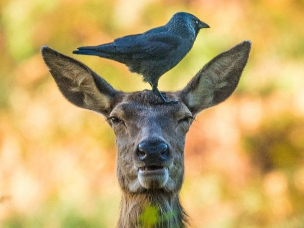 Photographer Captures Hilarious Moment Cheeky Jackdaw Lands On Deer's Head - And She Doesn't Look Happy