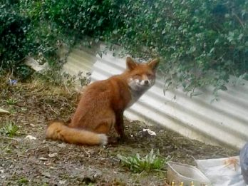Seven-Month-Old Baby Attacked By Fox After Sneaking Into Their Family Home