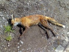 RSPCA Hunt Cruel Yob Who Shot Dead Fox With Plastic Arrow