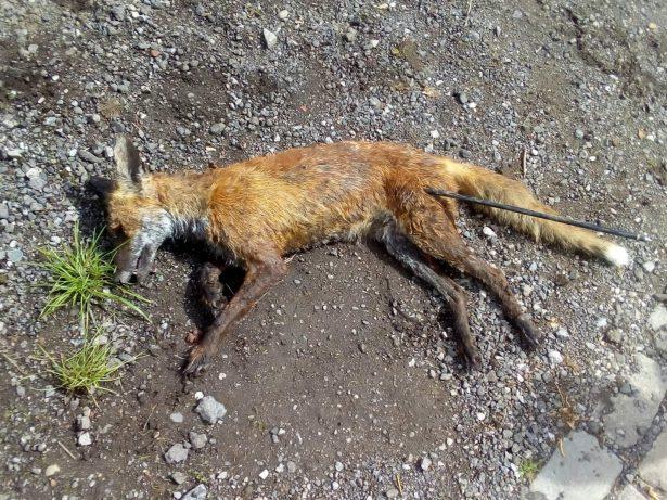 RSPCA Hunt Cruel Yob Who Shot Dead Fox With Plastic Arrow
