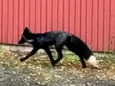 Driver Stunned After UK's Rarest Animal The BLACK Fox Jumped In His Van