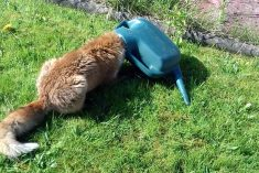 Fox Rescued After Getting Its Head Stuck In A Watering Can