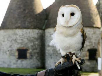 Company Renting Out OWLS To Fly Around At Funerals