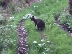Wallaby On The Loose In The UK