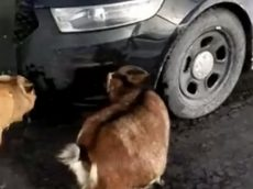 Police Officer Baffled As His Patrol Car Is Attacked By Salt-Licking Goats
