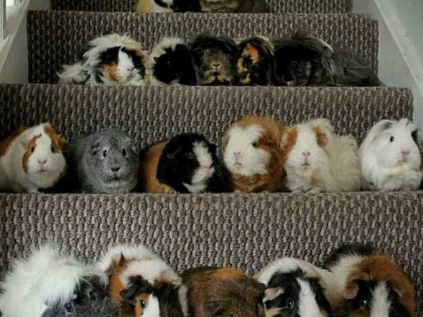 Woman Who Was Told She Couldn't Have Children Takes On TWENTY Guinea Pigs Instead