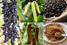 6 Health Benefits Of Mucuna Pruriens