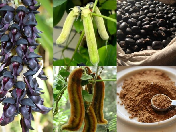6 Health Benefits Of Mucuna Pruriens