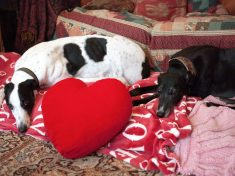 Greyhound With Love Heart Shaped Patch Has Finally Found Love