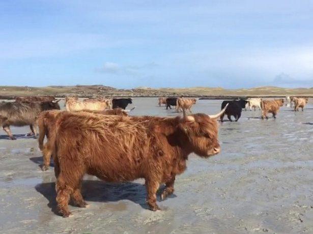 Hundreds Of Highland Cows Walk Along Beach To Give Birth On Uninhabited Scottish island