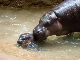Visitors Are Being Asked To Help Pick The Name Of Zoo's Newest And Cutest Arrival - A Baby Pygmy Hippo