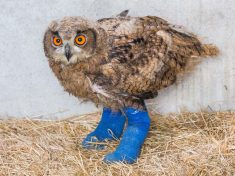 Adorable Baby Owl With Serious Growth Disorder Has Been Given Leg SPLINTS To Help Her Walk