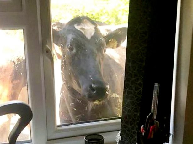 Residents Left Stunned After Almost 100 Cows Run Riot On Housing Estate After Escaping From Farm