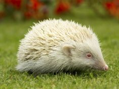 In A Prickle: Race Against Time To Find Rare Baby Albino Hedgehog