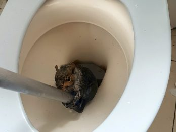 Bedraggled Squirrel Is Lucky To Be Alive After He Was Rescued When He Got Stuck - In A TOILET