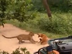 Sleeping Dog Manages To Scare Off Massive Leopard!