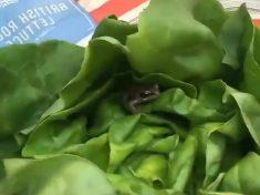 Woman Finds Living Frog In Her Supermarket Lettuce
