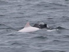 Incredibly Rare White Porpoise Spotted Off The Coast Of Cornwall