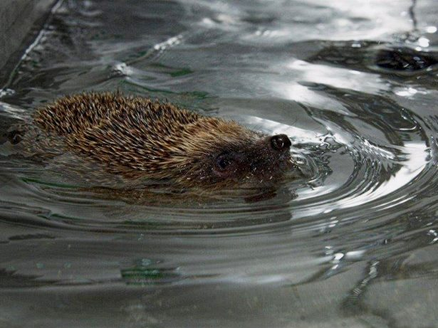 Hedgehog Gets Swimming Lessons To Build Up Strength