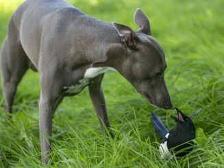 Magpie And Whippet Have Formed An Unlikely Friendship Which Sees Them Do Everything Together