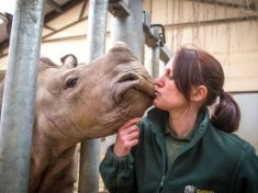 Keepers Spent 24/7 Hand-Rearing Baby White RHINO That Couldn't Walk – Feeding Her 70 PINTS Of Milk A Day