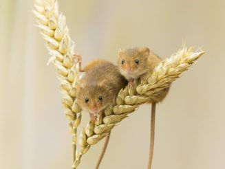 Beautiful Spring Pictures Show Harvest Mice Parading Over Wheat And Flowers
