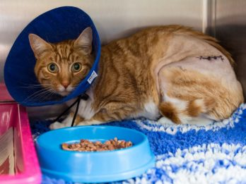 Luckiest Cat In The World Recovering After Being Speared By Railings