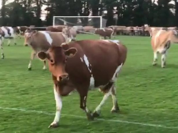 Football Match Had To Be Abandoned When The Pitch Was Invaded - By COWS