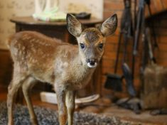 Orphaned Baby Deer Finds New Home – In Front Room Of Family's Bungalow