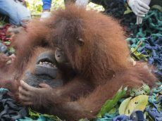 Orangutan Hugs Mum As They Are Released Into The Jungle After Being Saved From Danger