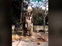 Mahout Accused Of Cruelty After He Trained Elephant To Let Him Climb His Trunk