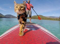 Water-Loving Feline Spends His Days Paddleboarding On Some Of Canada's Most Beautiful Lakes