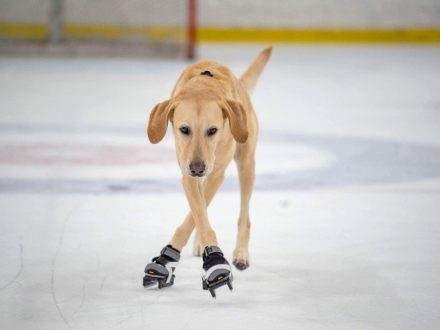 PAW-VILL AND DEAN: Meet The World's First Ice-Skating DOG - A Lovable Labrador With An Ex-Pro Skate Coach