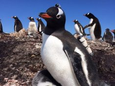 'Penguincam' Shows Doctor Dolittle Was Right – Penguins Do 'Talk' To Each Other