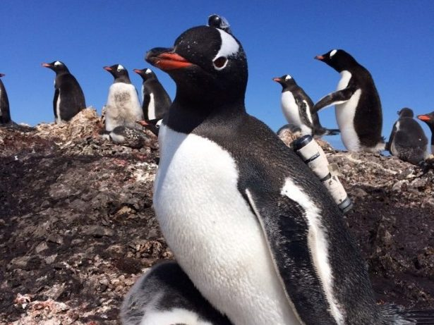 'Penguincam' Shows Doctor Dolittle Was Right - Penguins Do 'Talk' To Each Other
