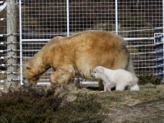 POLAR BABY! : First Polar Bear Born In UK In 25 Years Appears Before Public For The First Time