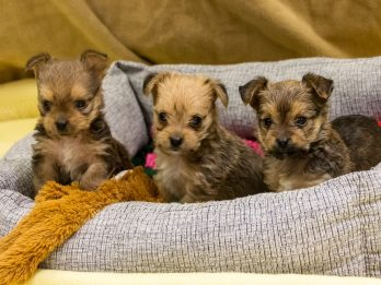 Three Tiny Orphaned Yorkshire Terriers Looking For Home After Their Mum Died