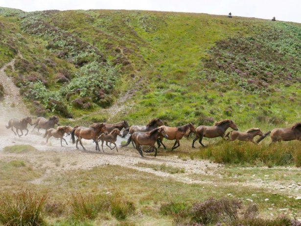 Incredible Footage Shows Massive Pony Herd Crossing UK Moorland