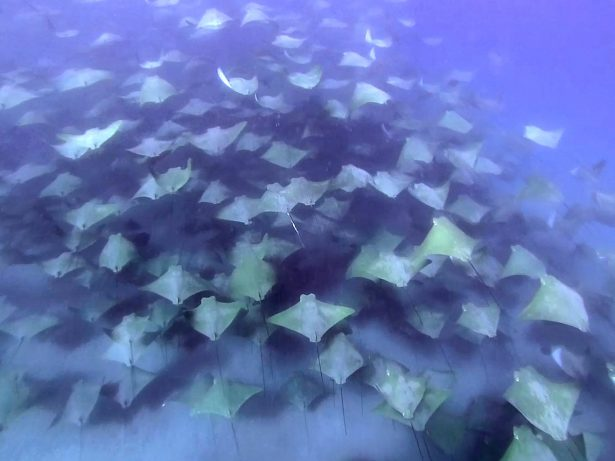 Incredible Once-In-A-Lifetime Moment British Swimmer Came Across 2,000-Strong Shoal Of Very Rare Rays