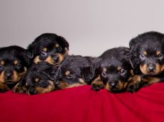Proud Rottweiler Gives Birth To One Of Britain's Biggest Litters With 15 PUPPIES!