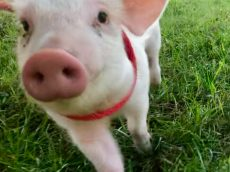 Piglet Destined For The SLAUGHTER HOUSE Finds New Home On Idyllic Ranch