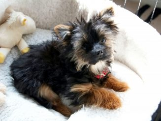 SCOOBY WHERE ARE YOU? : Thieves Steal Tiny Yorkshire Terrier Cross Chihuahua Pup During Break In