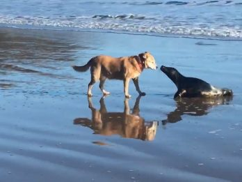 Sealed With A Kiss: Seal Emerged From The Sea To Share A Kiss With A Canine