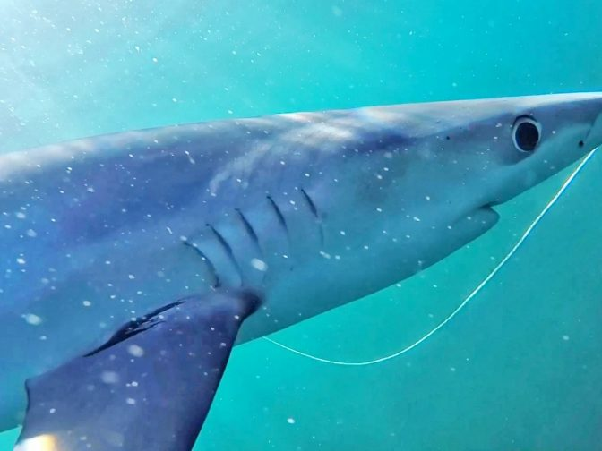 Incredible Video Shows Blue Sharks Swimming Off The UK's Coast – And Nibbling The Camera