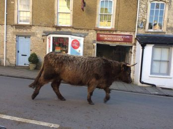 Shaggy Highland Cow Brings Town To A Standstill